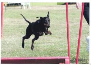 Le Manchester Terrier sur un saut en longueur d'agility