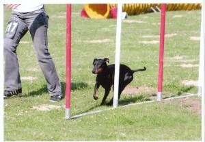 Black Jack un Manchester Terrier en plein slalom