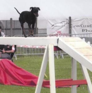 Le Manchester Terrier en action sur une passerelle d'agility
