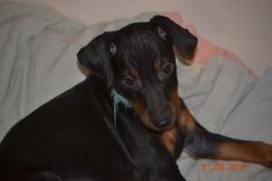 chiot Manchester Terrier