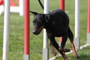 Le Manchester Terrier en plein slalom d'agility