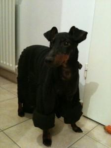 Le Manchester Terrier est un chien robuste mais moyennement résistant au froid